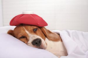 Sick pooch in bed